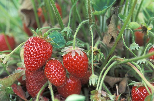 Guanajuato, Michoacán y Baja California concentran la producción del fruto. // Especial