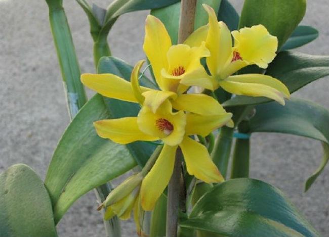 La vainilla pertene a la familia de las orquídeas y debe ser polinizada manualmente. // Foto: Especial
