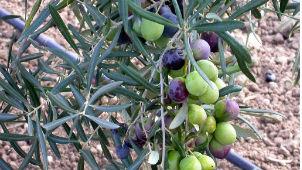 El aceite se extrae del fruto del olivo, las famosas aceitunas. // Foto: Especial.