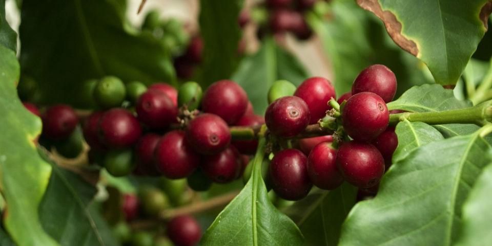 El grano de café es la semilla del cerezo de cafeto. // Foto: Especial.
