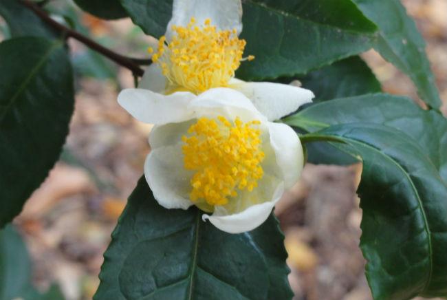 Recuerda, si no es del arbusto Camellia sinensis, no es té. // Foto: Especial.