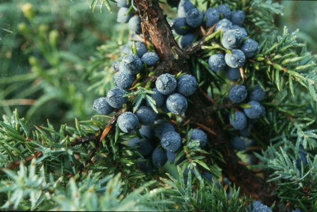 Las bayas del junípero, o enebro, da al Gin el aroma característico. // Foto: Especial.