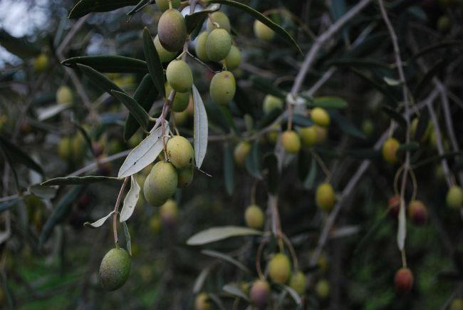 La Corona española prohibió el cultivo del olivo y la vid en la Nueva España. // Foto: Especial.