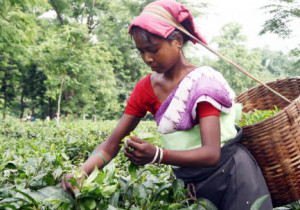 Tradicionalmente el té se recolecta a mano para tratar con más cuidado la hoja. // Foto: Especial.