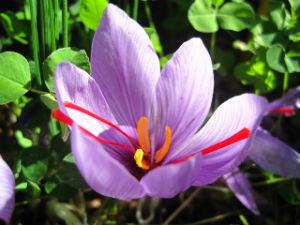 "Cada flor da tres ""hilitos"" de azafrán. // Foto: Especial."