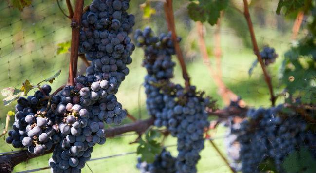 El varietal Cabernet Sauvignon es relativamente nuevo, pues es producto de la unión de otras varietales. // Foto: Especial.