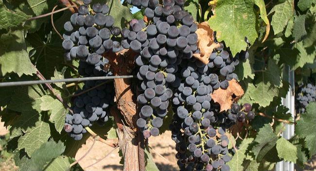 La uva merlot se distingue por su color azul // Foto: Especial.