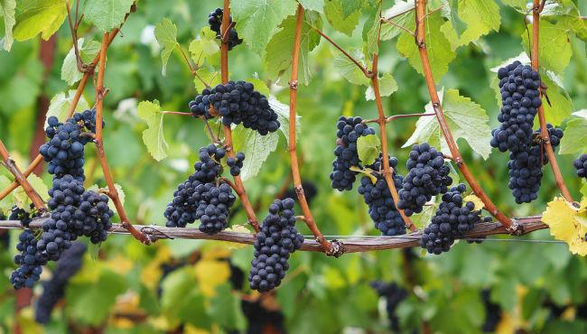 Las bayas de Pinot noir son pequeñas, de color negro con visos violáceos, poca carga de color. // Foto: Especial.