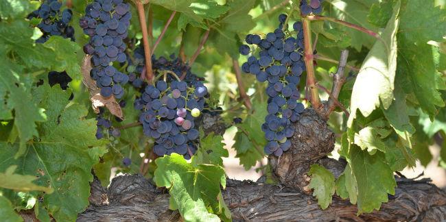 Las uvas tempranillo deben su nombre a que se trata de una uva temprana en madurar, por eso le llaman las tempranilleras. // Foto: Especial.