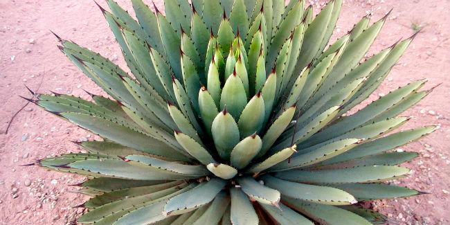 En el mundo existen 200 especies de agave, la mitad de ellas en México. // Foto: Especial.