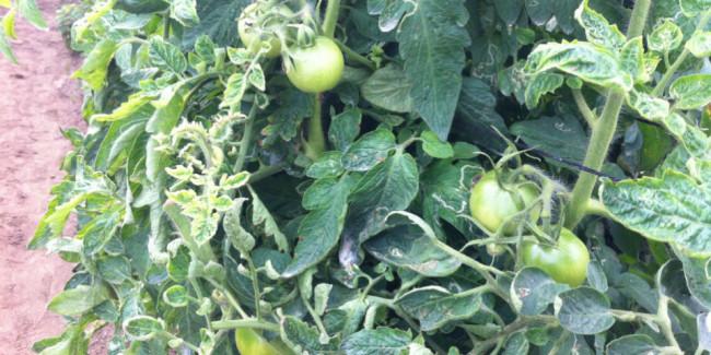 En la hacienda de cinco hectáreas se cultivan 26 variedades de tomate. // Foto: Animal Gourmet.