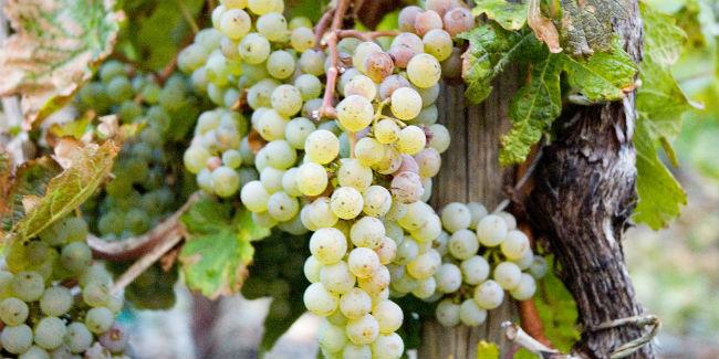 La Riesling es una de las uvas blancas menos conocidas en el mundo. // Foto: Especial.