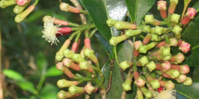 El clavo de olor es el botón de la flor del árbol Syzyium aromáticum. // Foto: Especial.