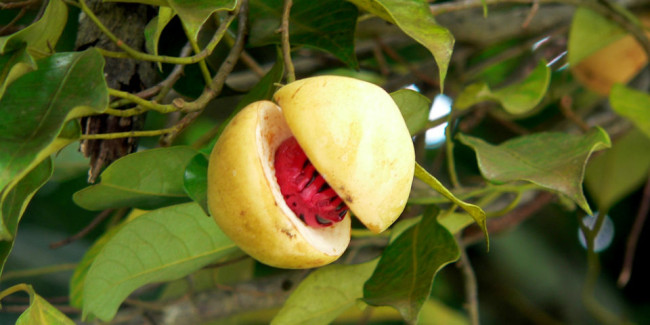La nuez moscada es la semilla del fruto de la .... // Foto: Especial.