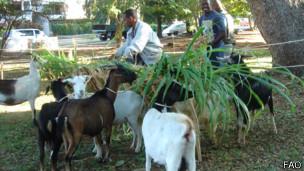 En un parque municipal, los agricultores urbanos crían cabras.