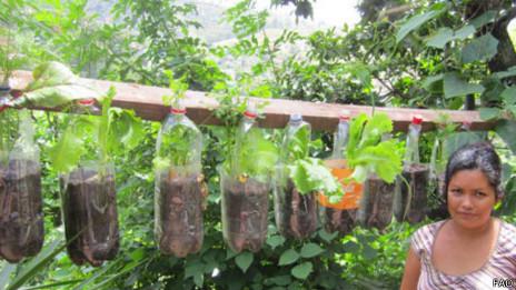 En Tegucigalpa se promueve el cultivo de hortalizas en botellas plásticas usadas.