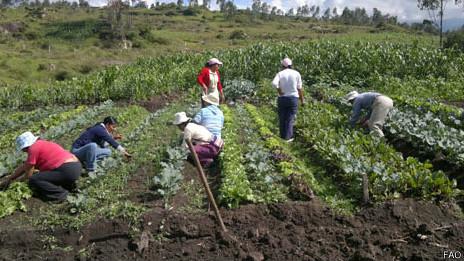 En El Panecillo, en Quito, los vecinos cosechan lechuga. Huerto comunitario en El Chillo, al este de Quito.
