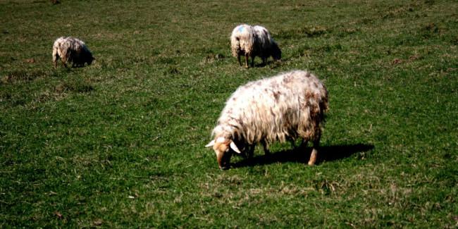 Las ovejas latxa sólo dan leche entre febrero y junio de cada año, lo que hace de este queso algo especial. // Foto: Especial.