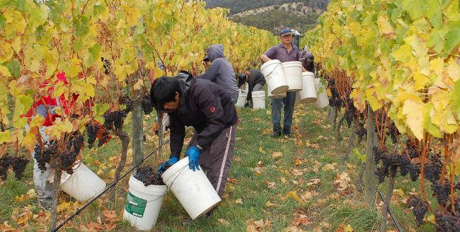 Productores de vino australianos migran cada año a tierras menos secas, como las de Tasmania. // Foto: Especial.