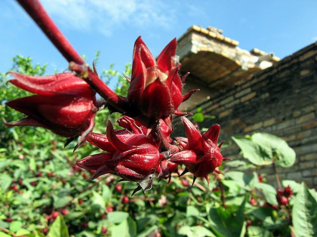 La de jamaica es otra de las flores consentidas de las mesas mexicanas. // Foto: Jaec (Creative Commons)