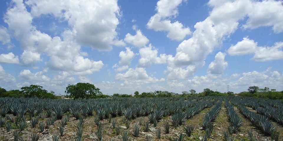¿Cómo distinguir un tequila de verdad?