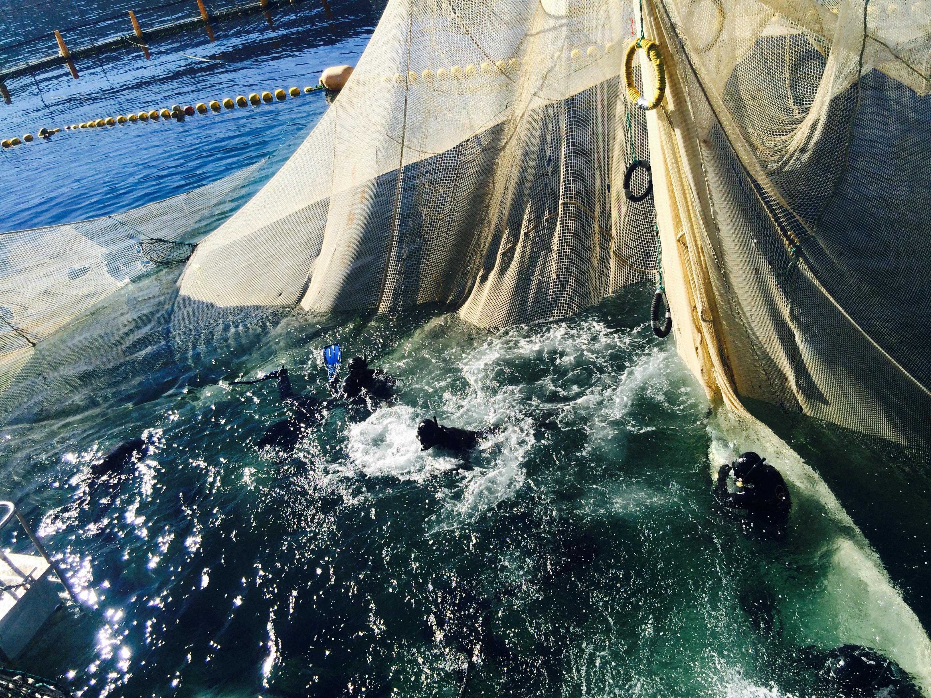 """Los buzos """"abrazan"""" los atunes para utilizarlos como propelas y llvarlos al barco en el que se decidirá su destino final. // Foto: Animal Gourmet."""