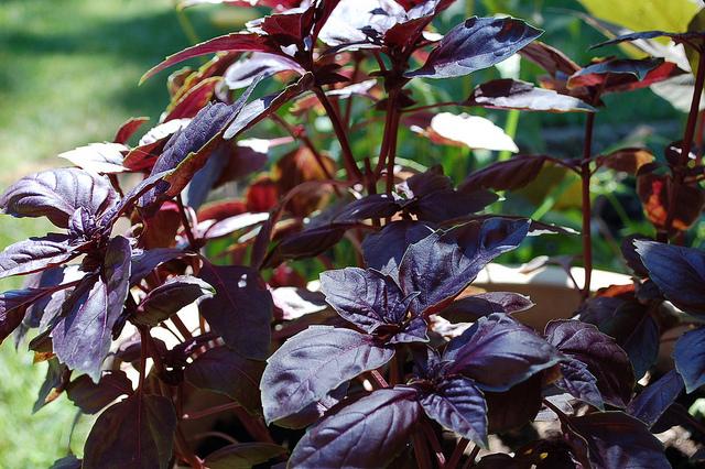 La morada es muy similar a la genovesa salvo por el color. // Foto: Jessica A. Thucker (Creative Commons).