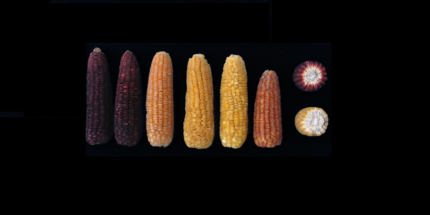 Las razas de maíz del centro de México