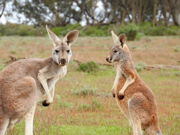 Comer en Australia: De la comida aborigen hasta el fine dining