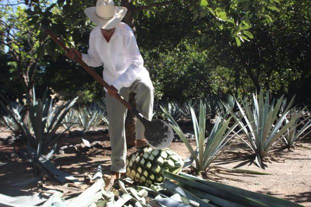 El jimador apoyó su pie derecho en el suelo, el izquierdo en la penca y con sus dos manos separó la piña del agave. Tras su separación, esa piña terminará en un horno donde la cocerán para extraer la fructuosa de la fibra, fermentarla y luego destilarla. //Foto: Fernanda Muñoz.