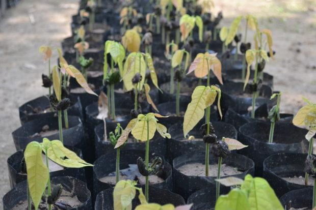 Así se ven las matitas de cacao antes de ser plantadas. // Foto: Claudia García.