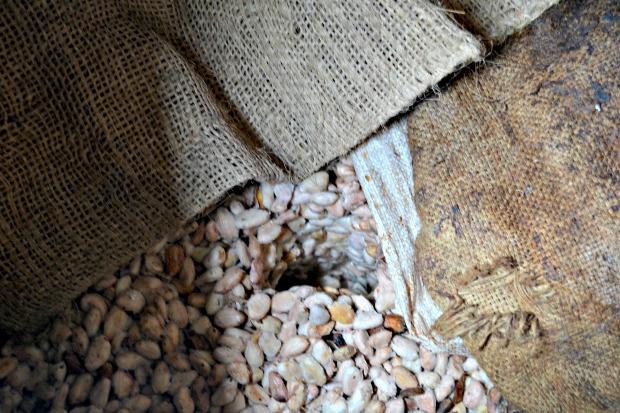 Los granos de cacao se deben fermentar para que agarren la acidez necesaria que se necesita en un chocolate. // Foto: Claudia García.