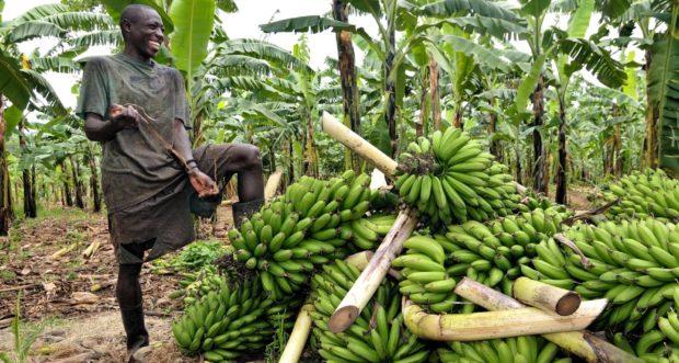 cultivos de plátano en Uganda