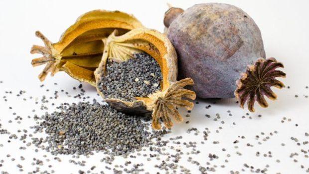 El opio es una sustancia que se extrae de las cabezas verdes de la planta conocida como adormidera, Papaver somniferum o amapola común.