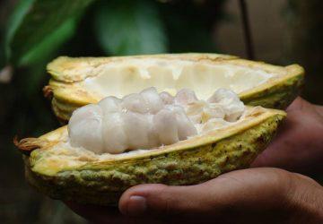 Así se ve el cacao antes de ser convertido en chocolate.