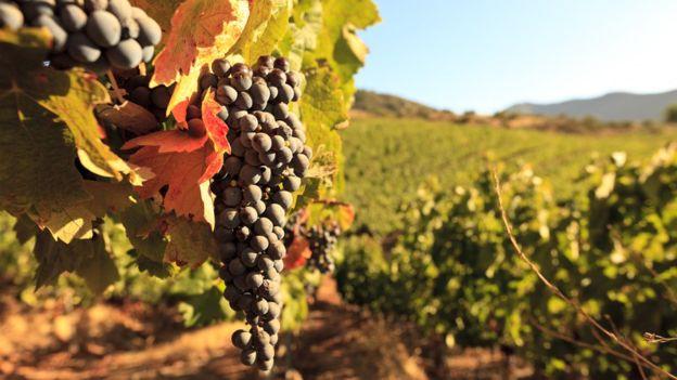 BTRENKEL. La crisis de las uvas que vivió Chile en 1989 causó pérdidas millonarias.