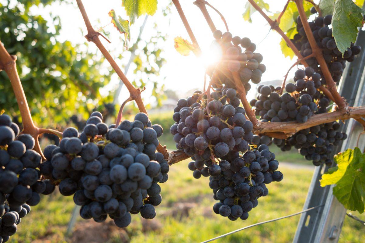 ruta del vino coahuila