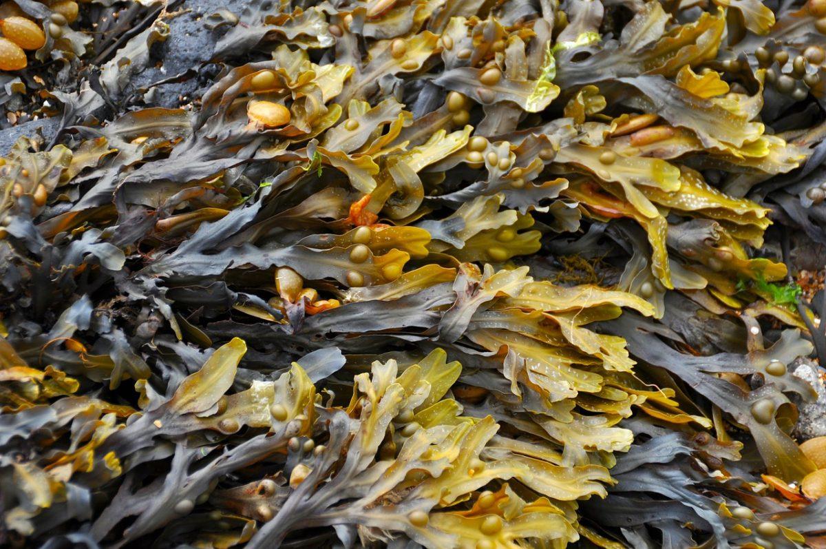 cocinar con algas aditivos sazonadores