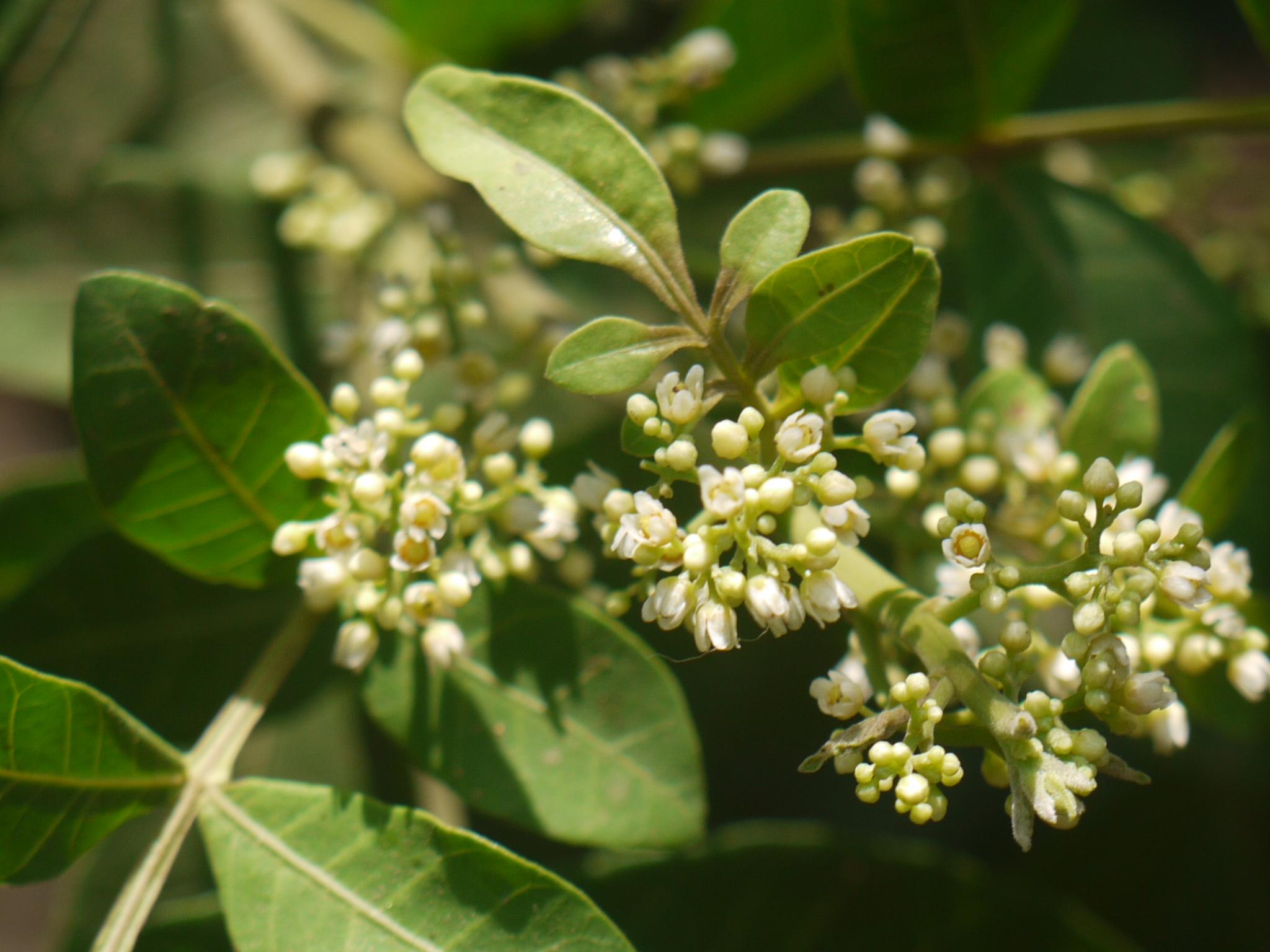 Árbol de pimienta brasileña