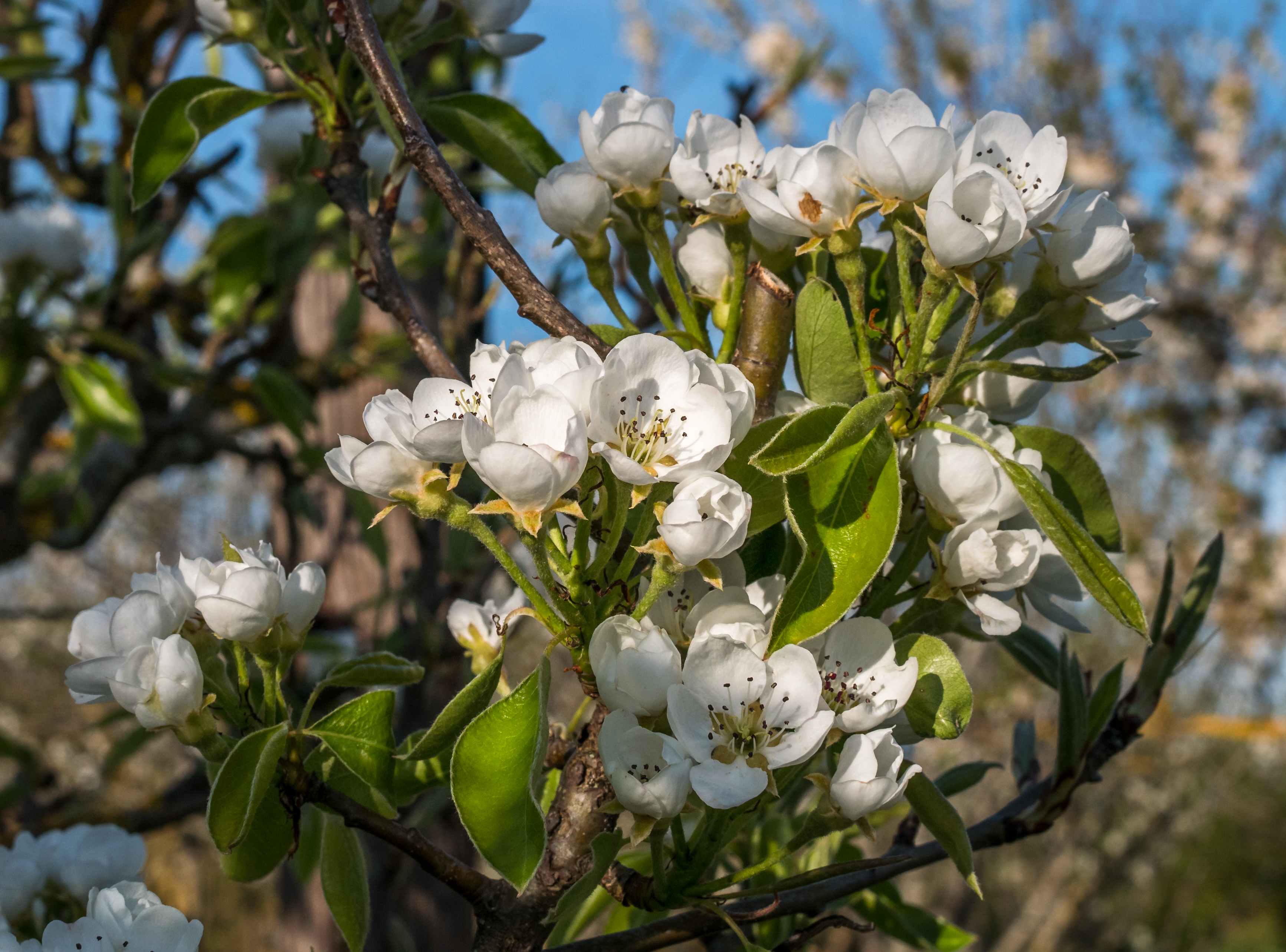 Flores y hojas del peral el árbol de la pera