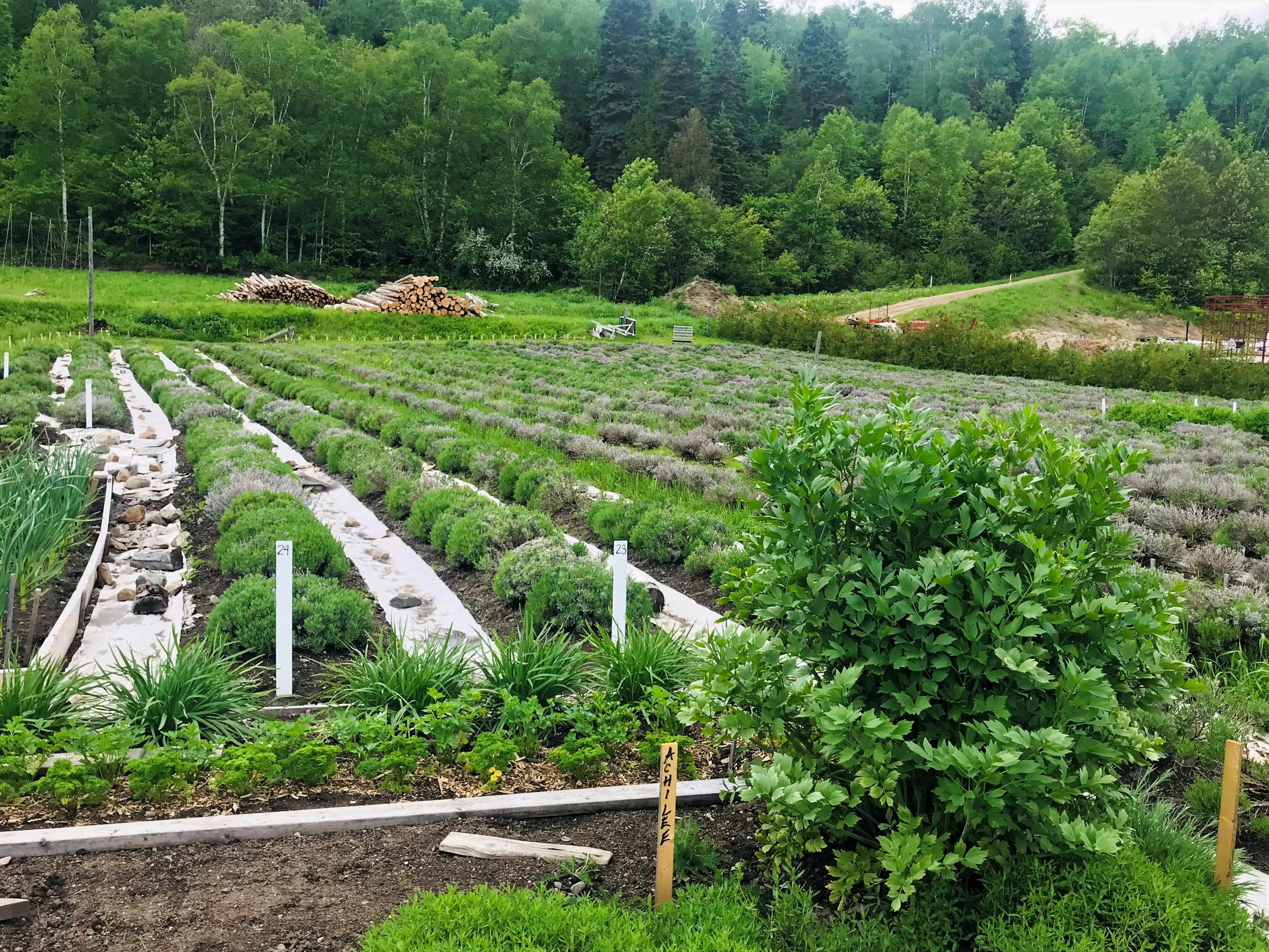 Cultivo de lavanda en Azulée  en la ruta del sabor de Charlevoix, Quebec.