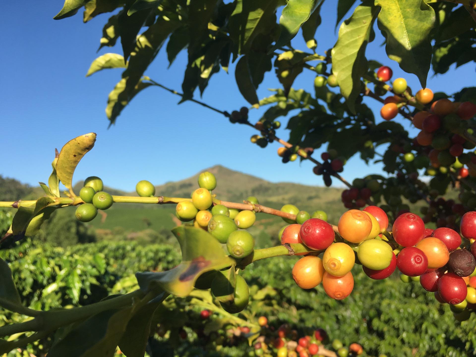 café mexicano puede estar en peligro de extinción