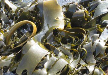 kelp superalimento