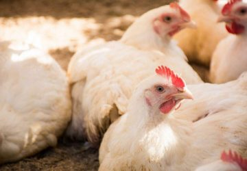 Milpa Criolla pollo orgánico 1