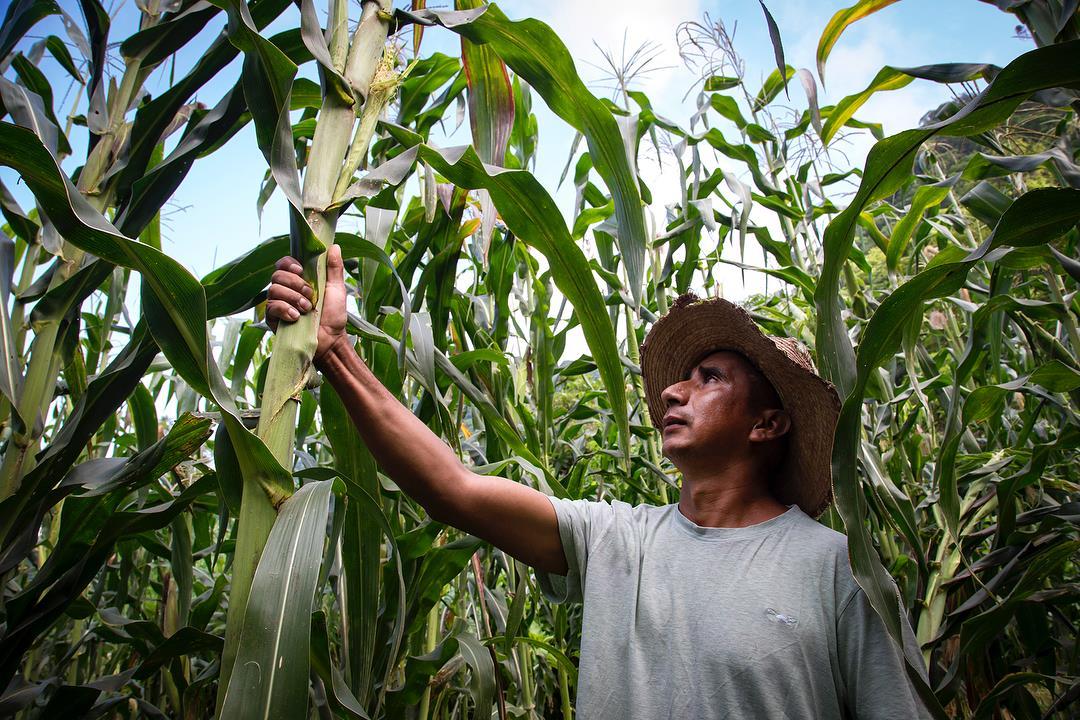 Tamoa al rescate del maíz criollo