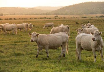 ganadería regenerativa carne sustentable
