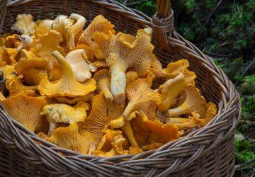 10 hongos que debes conocer esta temporada de lluvias y cómo cocinarlos