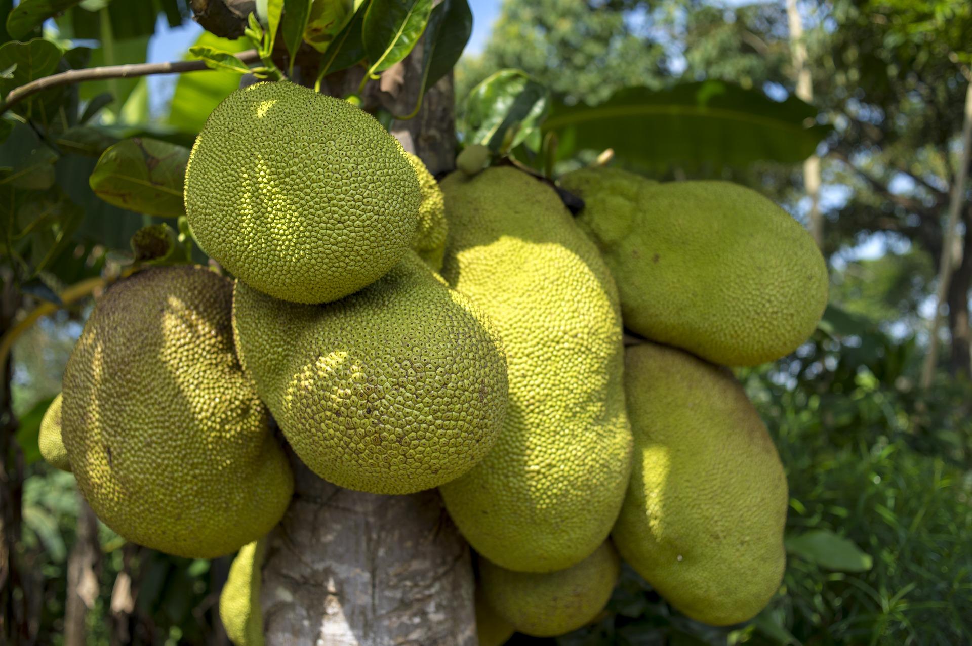 La yaca es una de las frutas exóticas.