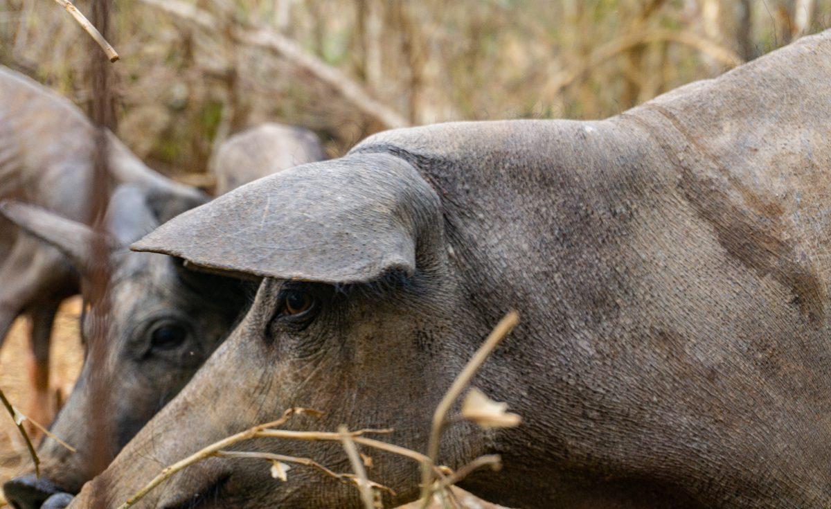 Al rescate del cerdo pelón endémico de Yucatán, el alma de la cochinita pibil