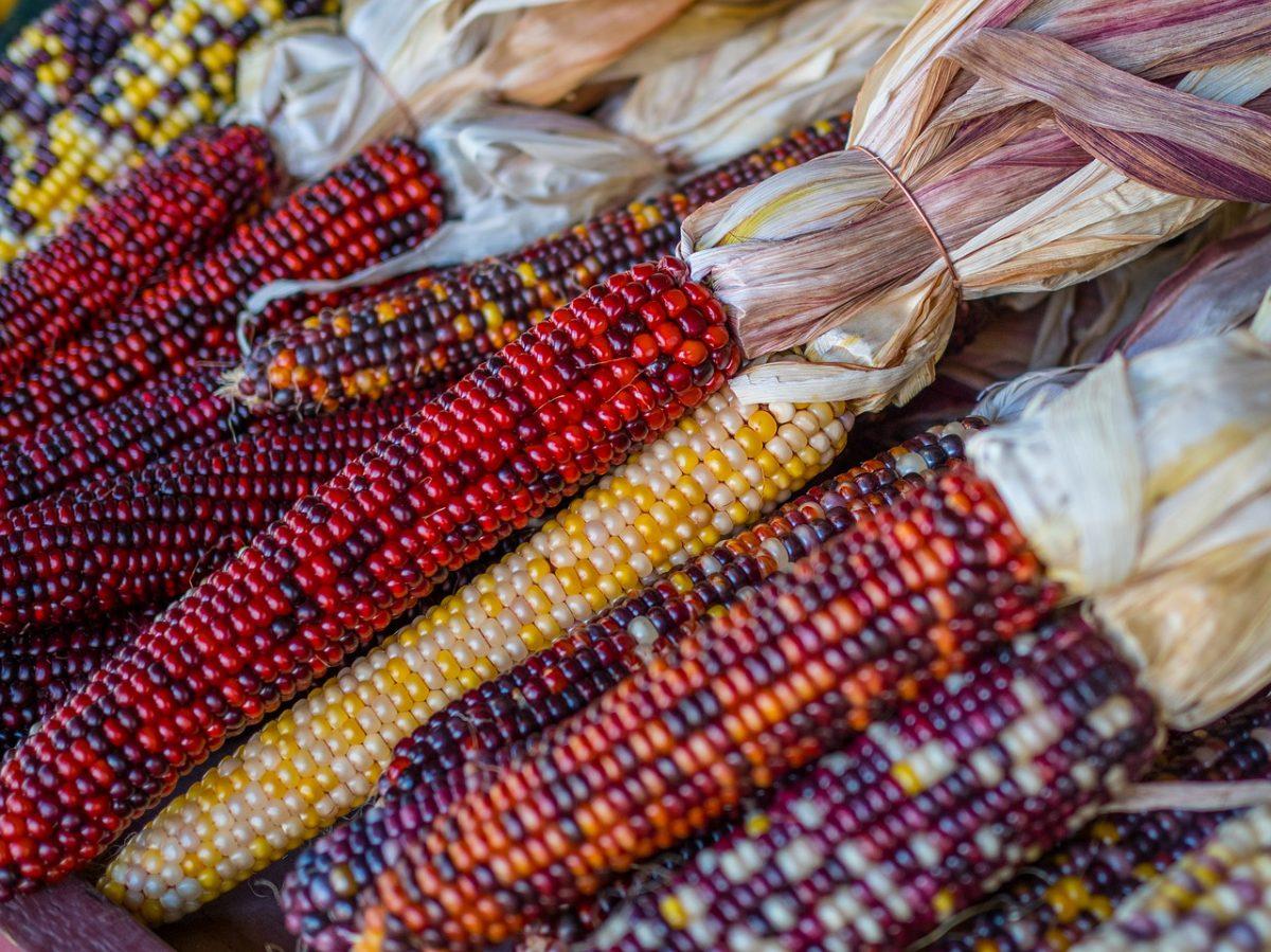 maíz nativo